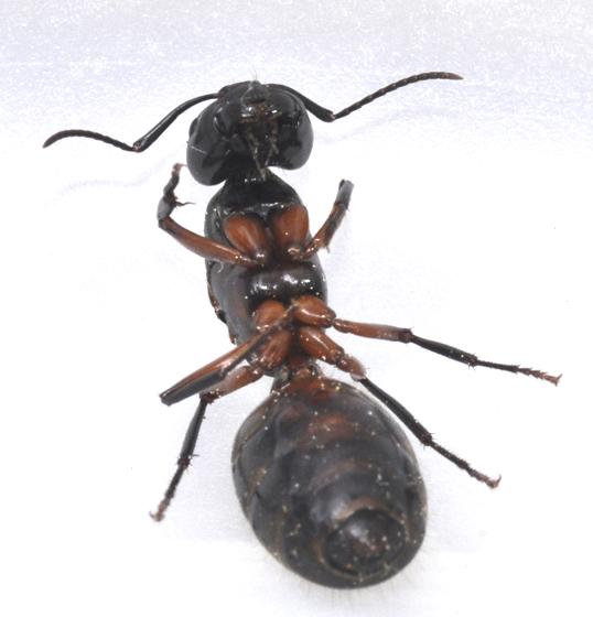 Black queen - Camponotus pennsylvanicus? - Camponotus chromaiodes - female