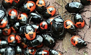 small black & red beetles - Sehirus cinctus