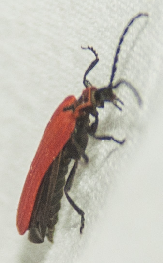 Red lycid - Dictyoptera aurora