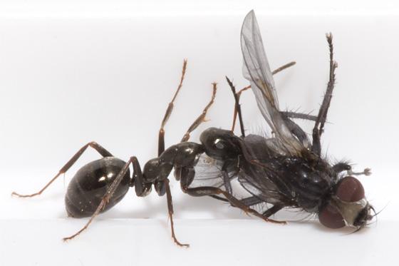 Agressive Camponotus? - Formica