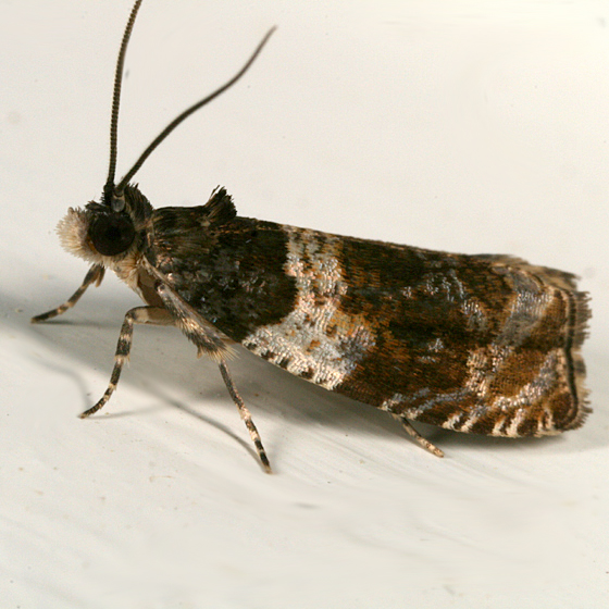 Banded Olethreutes - Olethreutes fasciatana