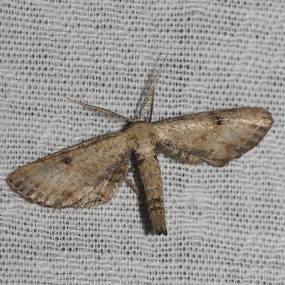 Dimorphic Gray - Hodges#6486 - Tornos scolopacinaria - male