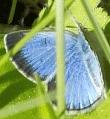 Blue or Azure? - Glaucopsyche lygdamus