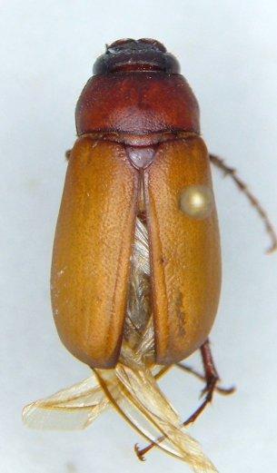 Phyllophaga quercus - male