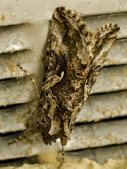 Black and brown moth - Autographa californica