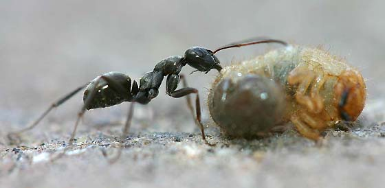 Worker Field Ant with Beetle Grub - Formica subsericea - female