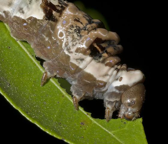 larva - Papilio cresphontes