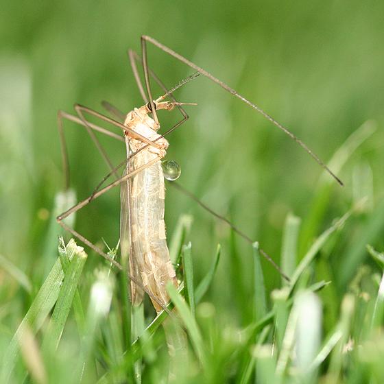 Crane Fly Emerging  - Tipula