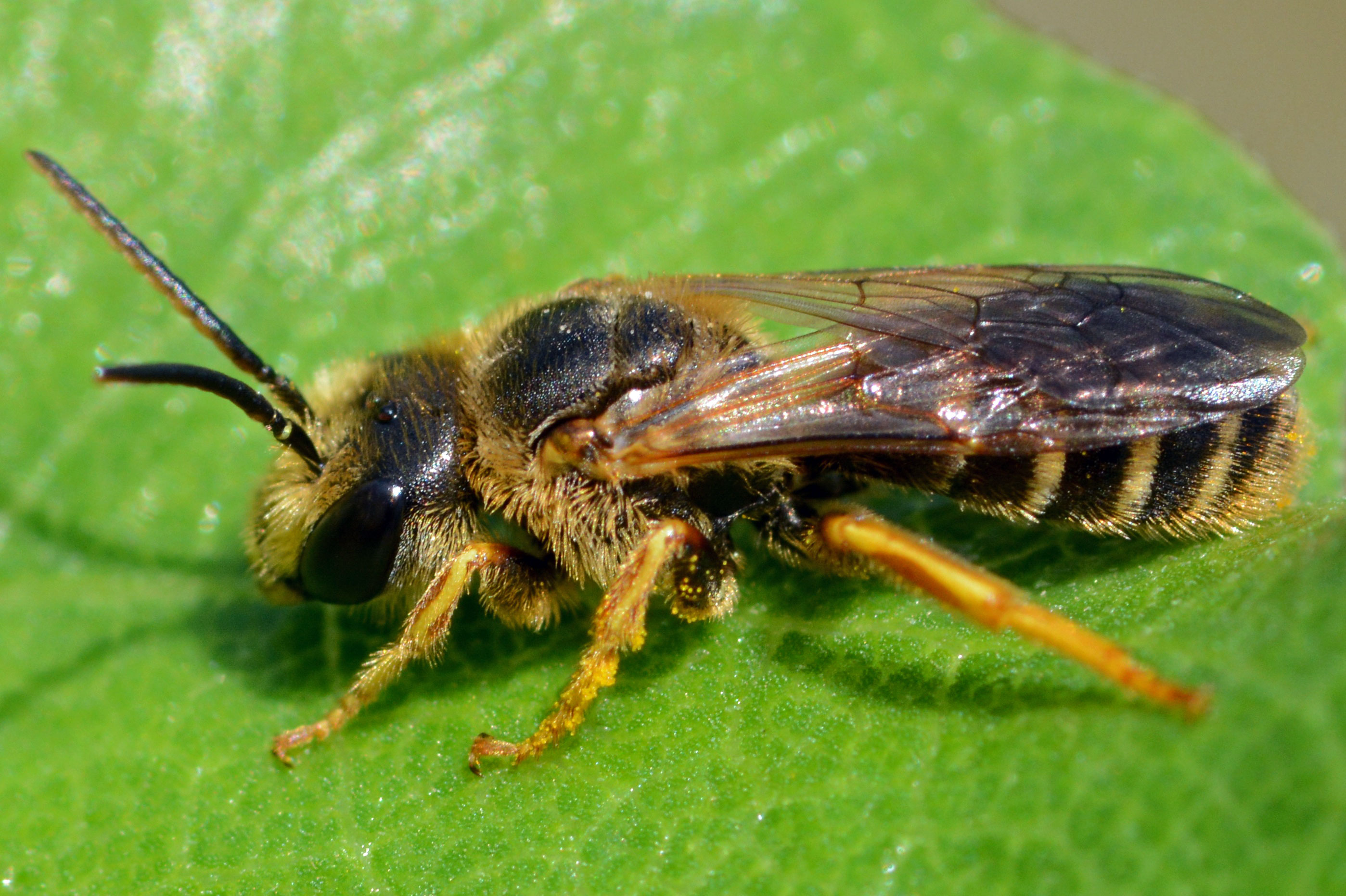 sweat bee benweb 3 2