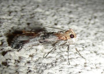 Moth # 08-249 - Toripalpus trabalis