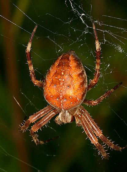 Orb Weaver889 - Araneus diadematus
