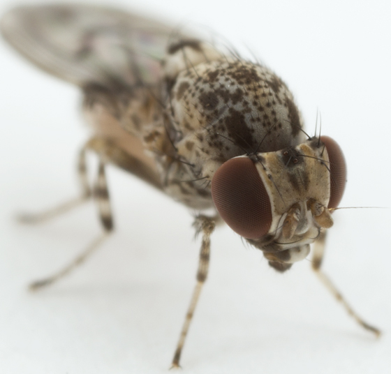 fly - Phortica picta