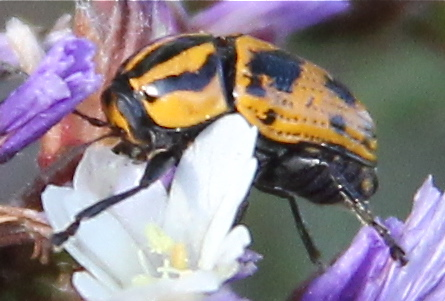 Which species of Casebearer Beetle is this? - Cryptocephalus castaneus