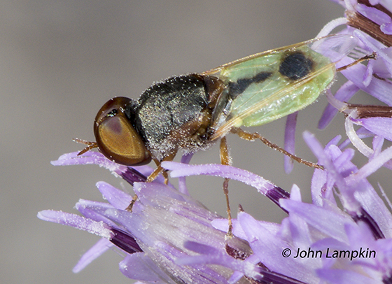 Soldier Fly - Hedriodiscus - Hedriodiscus - male