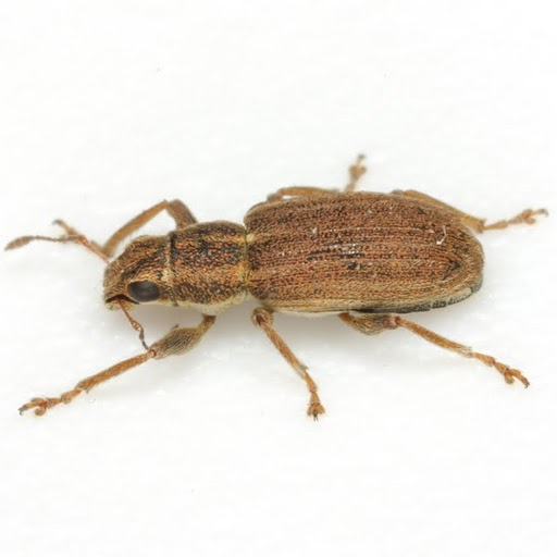 Sitona lineatus (Linnaeus) - Sitona lineatus