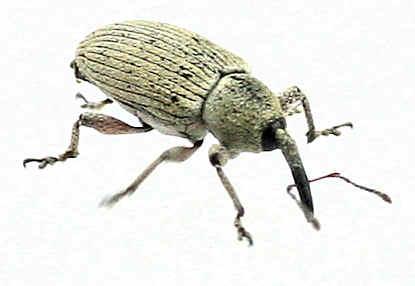weevil -? - Smicronyx
