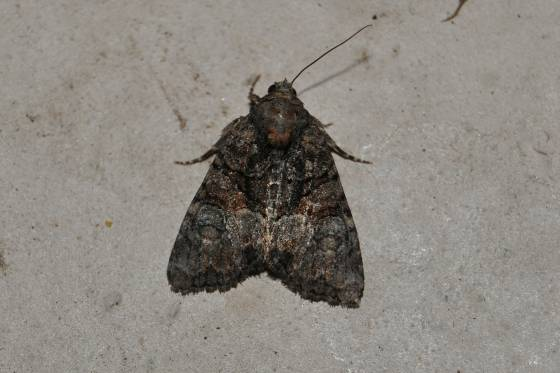 Unidentified Moth - Neoligia invenusta