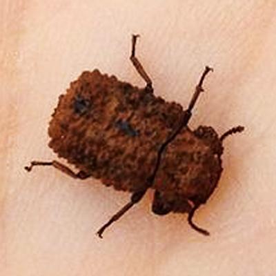 Beetle on shelf fungi - Bolitotherus cornutus - female