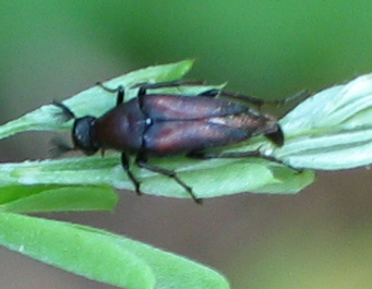 Wedge-shaped Beetle - Macrosiagon pectinata - male