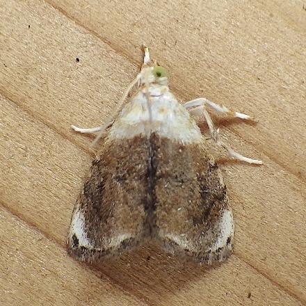 Crambidae: Lipocosmodes fuliginosalis - Lipocosmodes fuliginosalis