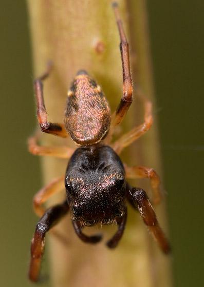 Adult ziggy - Zygoballus rufipes - male