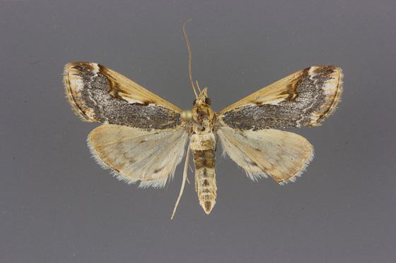 Loxostege albiceralis - male
