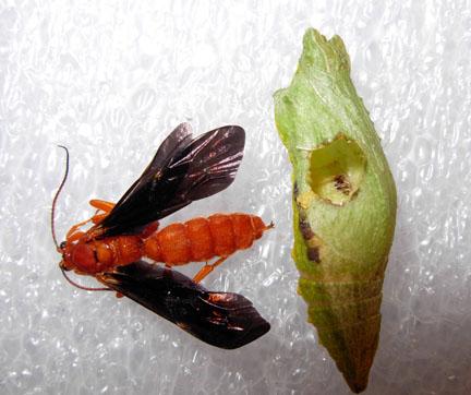Parasitic wasp - Trogus pennator