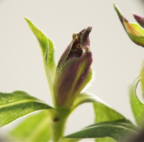 Apical gall, woodland aster - Asphondylia