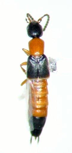 Neobisnius occidentoides - male