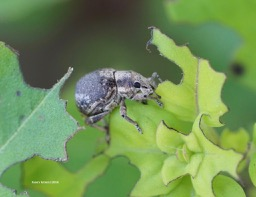 Weevil ID reqeust - Pseudocneorhinus bifasciatus