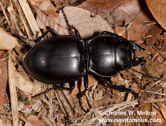 Pasimachus sp. - Pasimachus californicus