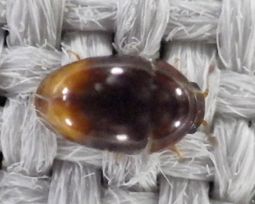 Very tiny beetle at light - Stilbus apicalis