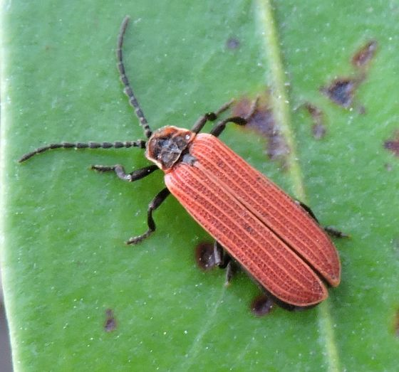 Dictyoptera aurora - Golden Net-wing - Dictyoptera aurora