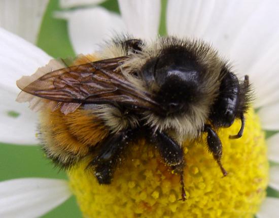 Bumblebee - Bombus ternarius - female