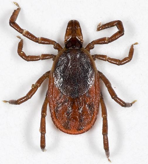Deer Tick - Ixodes scapularis - female