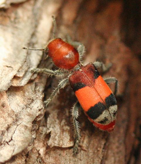 Checkered Beetle - Enoclerus ichneumoneus