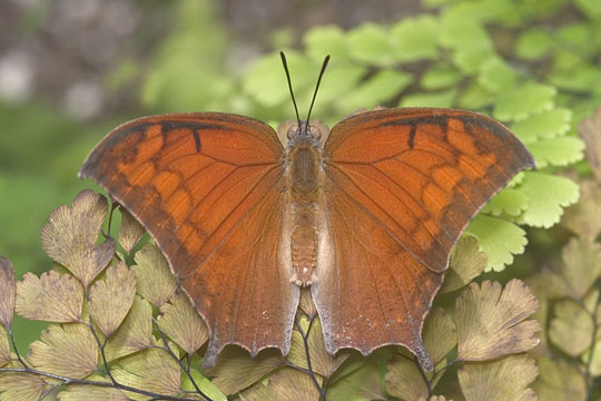 Tropical Leafwing - Anaea aidea - male