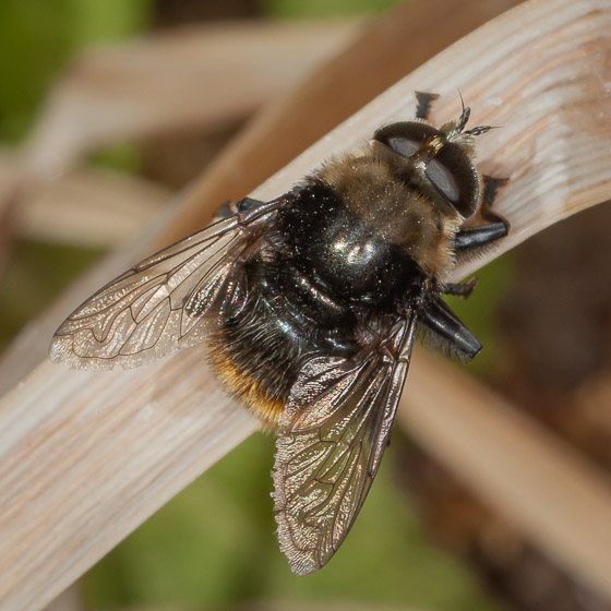Chunky Large Fly? - Merodon equestris - male