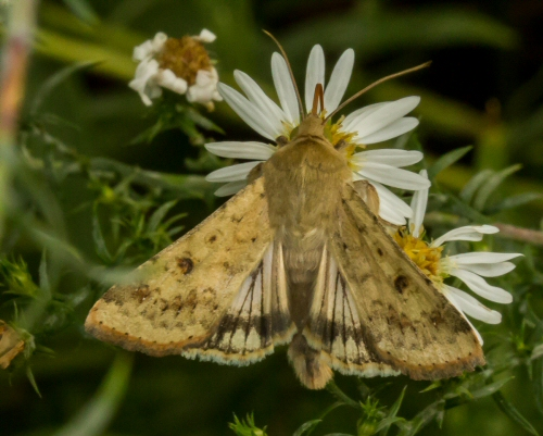 owlet moth in asters - Helicoverpa zea