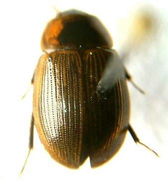 Helochares maculicollis