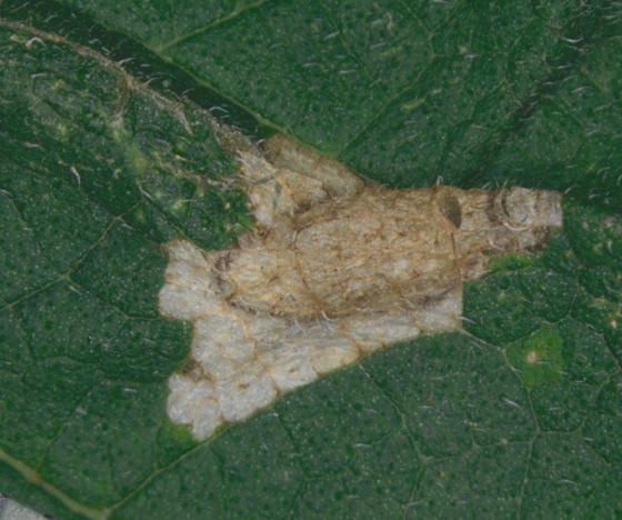 Gracillariidae, leaf mine front of leaf - Phyllonorycter celtifoliella
