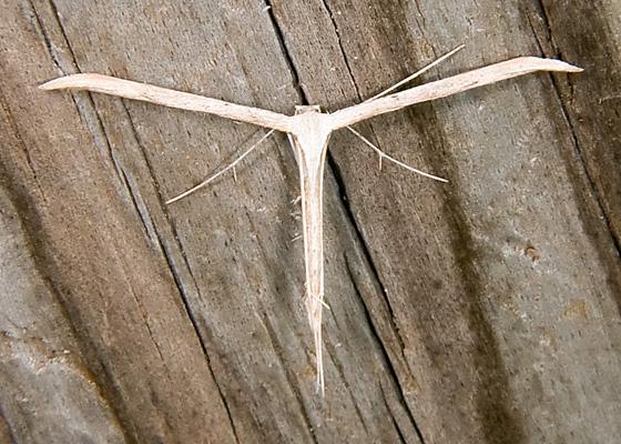 Morning-Glory Plume Moth - Emmelina monodactyla