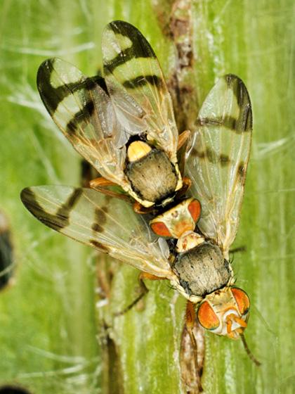 Urophora stylata male and female - Urophora stylata - male - female