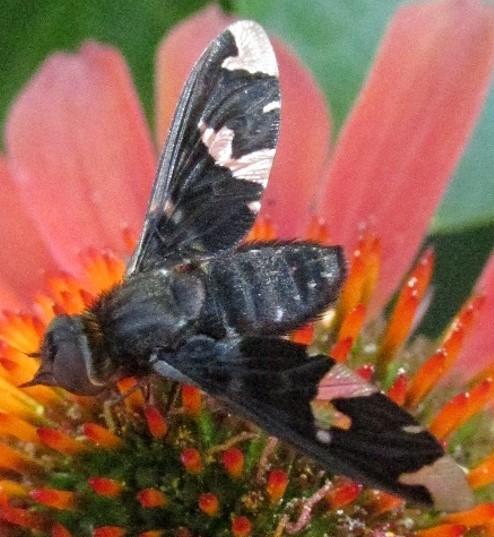 bombyliid - Exoprosopa decora