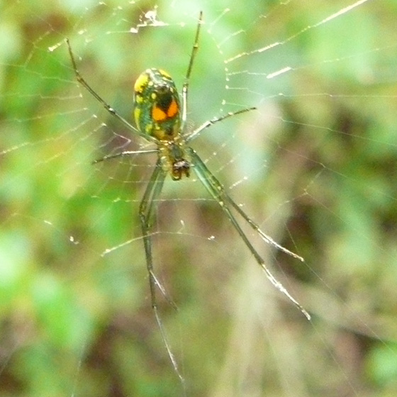 Greenish spider w/ fluorescent orange dots in Florida - Leucauge venusta