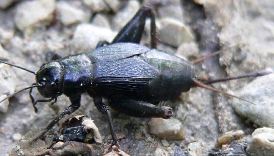 Northern Wood Cricket - Gryllus vernalis - female