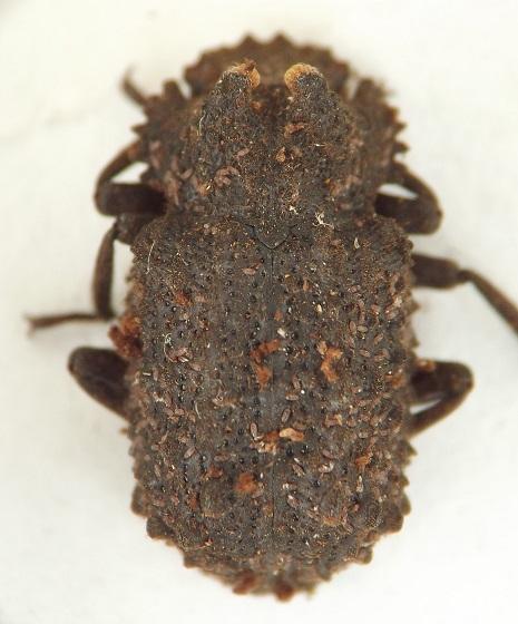 Fungus beetle ex artist's conk - Bolitotherus cornutus