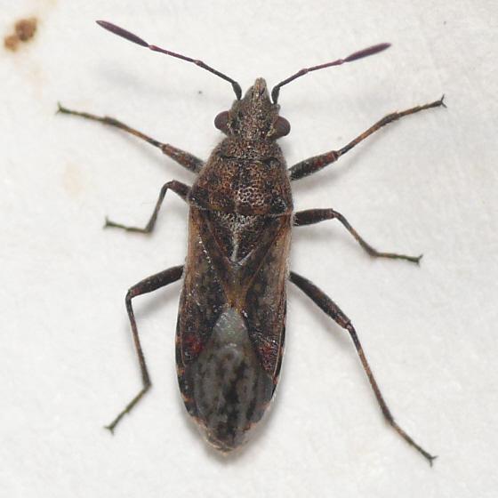Seed bug - Neortholomus scolopax