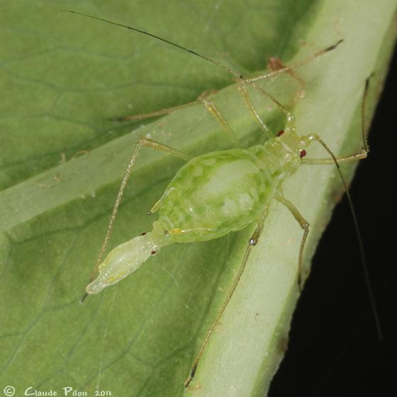 Amphorophora ampullata - female