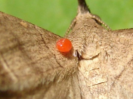 Owlet Moth with Mite? - Renia flavipunctalis